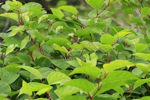 Japanese knotweed management